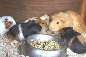Guinea Pig Babies and Mother
