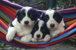 Border Collie Puppies in the Hammock