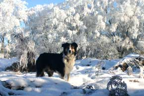 Border Collie in the Frost
