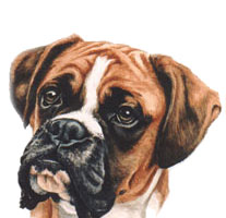 Boxer Dog Portrait