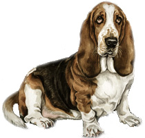 Basset Hound Dog Picture